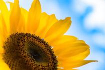 Sonnenblume by mnfotografie