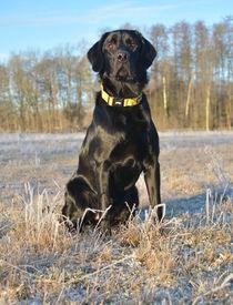 Labrador von Eike Holtzhauer