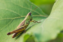 Short-winged Green Grasshopper On A Leaf von Cristina Ion