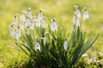 Snowdrops von nature-spirit