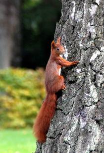 Eichhörnchen von Edmond Marinkovic