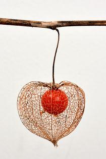 Chinese Lantern by Philip Shone
