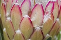 Protea Susara - Südafrika von Dieter  Meyer