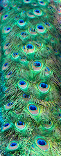The Peacock Tail by Sylvia Seibl