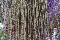 Fruchtstand der Bangalowpalme - Archontophoenix cunninghamiana - Australien von Dieter  Meyer