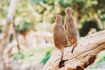 Meerkat or Suricate (Suricata Suricatta) in Africa by Radu Bercan
