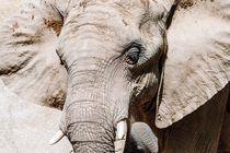Wild African Elephant Portrait by Radu Bercan