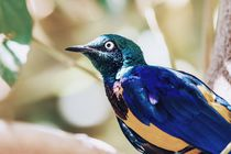 Golden Breasted Starling Bird Portrait von Radu Bercan
