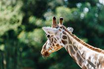Northern Giraffe (Giraffa Camelopardalis) Portrait von Radu Bercan