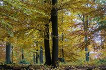 Mächtige Buchen im Herbst von Ronald Nickel