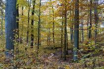 Goldener Oktober im Laubwald von Ronald Nickel