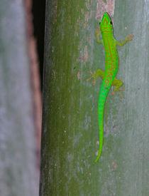 Green gecko on the seychelles island von stephiii