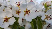 pear blossoms von stephiii