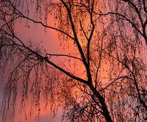 birch fire by Sylvia Seibl