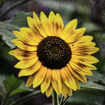 Retro Sonnenblumenblüte von kattobello