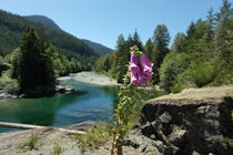 Foxglove in front of a crystal clear river on Vancouver island - Canada by stephiii
