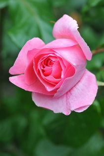 Rote Rose von Heinrich Winkelmann