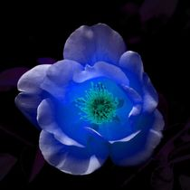 Blue Rose in the Night von kattobello
