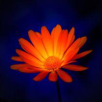 Feuerblume in der Nacht von kattobello