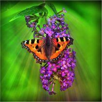 Fuchs Schmetterling im Sonnenstrahl by kattobello