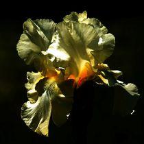Gelbe Lilie in der Nacht von kattobello