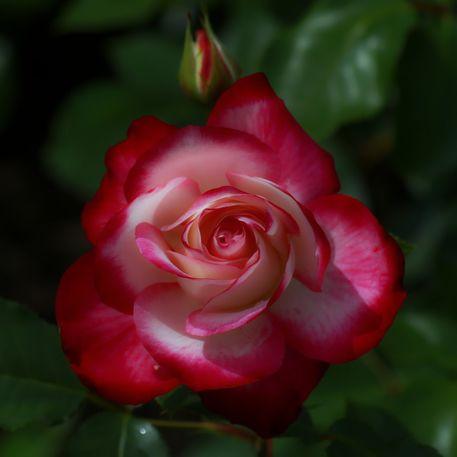 Rosenblute-in-der-nacht