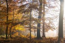 Die Sonne verdrängt den Nebel im Herbstwald von Ronald Nickel