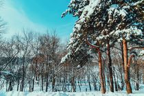 Forest Trees Covered With White Winter Snow by Radu Bercan