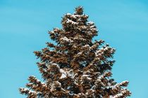 Pine Tree Covered In Winter Snow by Radu Bercan