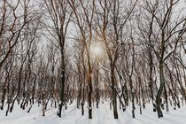 Forest Trees Covered With White Winter Snow von Radu Bercan