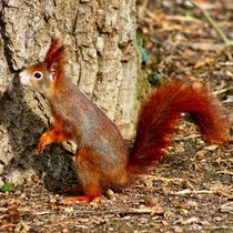 Rotes Eichhörnchen auf dem Sprung bereit von kattobello