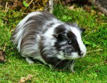 Schwarz weißes Langhaarmeerschweinchen auf der Wiese von kattobello