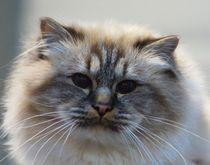 Langhaar Katze von kattobello