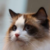 Ragdoll Katze by kattobello
