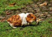Orange weißes Langhaarmeerschweinchen Baby von kattobello