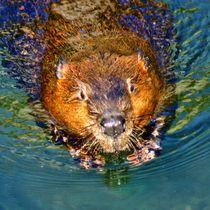 Biber Schwimmen von kattobello