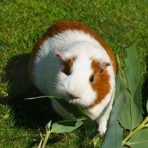 Orange weißes Kurzhaarmeerschweinchen beim Fressen von kattobello