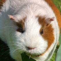 Orange weißes Kurzhaarmeerschweinchen Portrait von kattobello