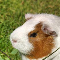 Rot weißes Kurzhaarmeerschweinchen Profil von kattobello