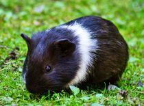 Schwarz weißes Kurzhaarmeerschweinchen Baby auf der Wiese von kattobello