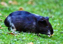 Schwarz weißes Kurzhaarmeerschweinchen Baby by kattobello