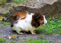 Dreifarbiges Rosettenmeerschweinchen Baby von kattobello