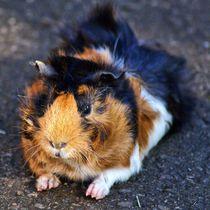 Relaxendes dreifarbiges Rosettenmeerschweinchen von kattobello