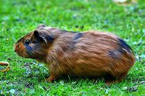 Braun schwarzes Kurzhaarmeerschweinchen Baby von kattobello