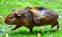 Braunes Rosettenmeerschweinchen Baby im Schweinsgalopp von kattobello