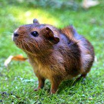 Braunes Rosettenmeerschweinchen by kattobello