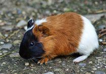 Dreifarbiges Kurzhaarmeerschweinchen Baby von kattobello