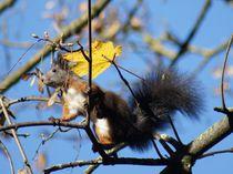 Braunrotes Eichhörnchen auf dünnen Zweigen von kattobello