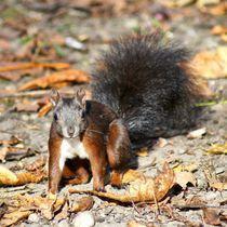 Eichhörnchen Baby im Herbstlaub by kattobello