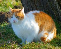Rot weiße Katze auf der Wiese von kattobello
